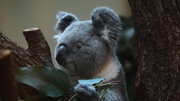 What are some interesting facts about koalas?