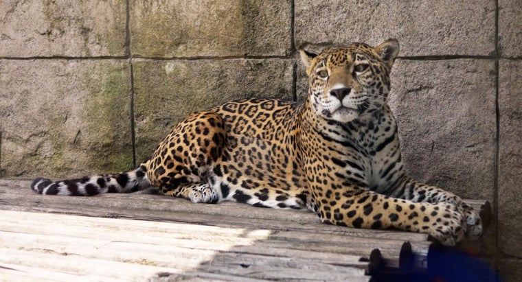 What Foods Do Jaguars Usually Eat?