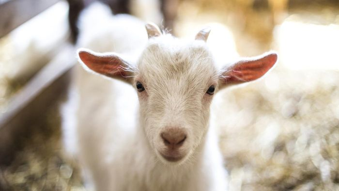 Where Are Some of the Goat Farms in California?