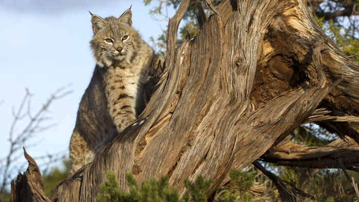 What Are Some Interesting Facts About Bobcats?