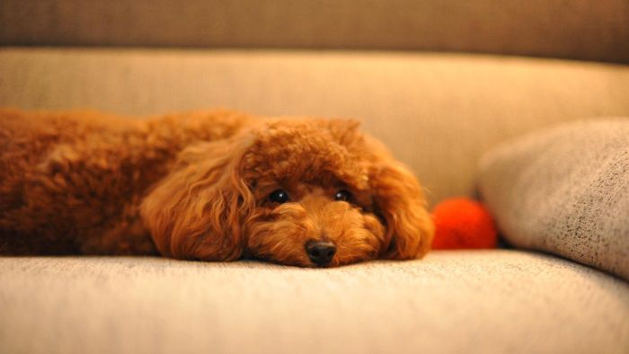 Where Can You Buy Teacup Toy Poodle Puppies?