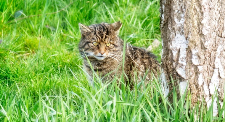 What Habitats Are Wildcats Commonly Found In?