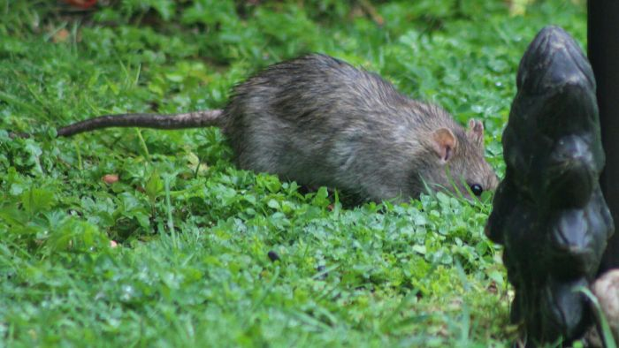 What Are Some Deterrents for Rats in a Garden?