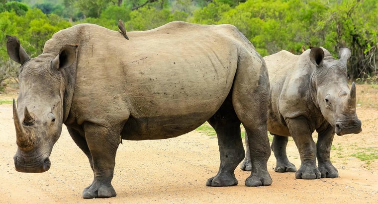 Are Rhinos Endangered?