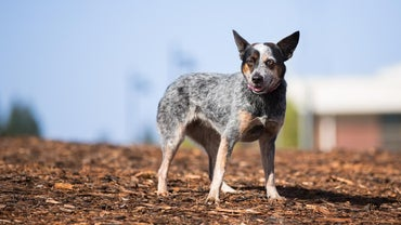 How Big Does a Blue Heeler Get?