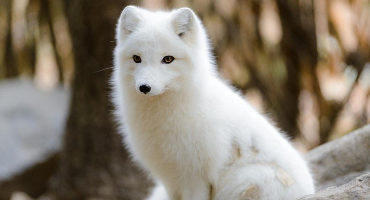 What Are Some Kid-Friendly Facts About Arctic Foxes?