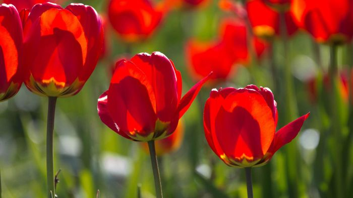 How Do You Plant Tulips?