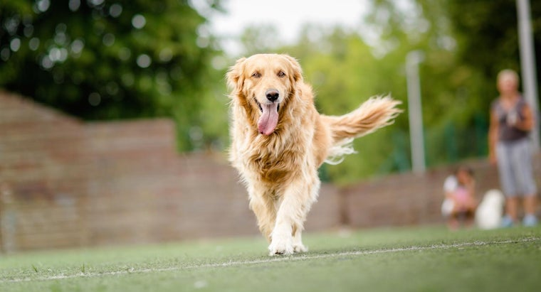 What Are Some Benefits of Rescuing a Golden Retriever?