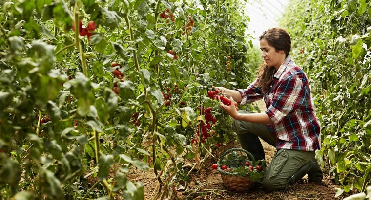 What Types of Conditions Are Good for Growing Tomatoes?