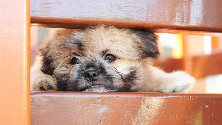 What Is A Shih Tzu Pomeranian Mix Reference Com