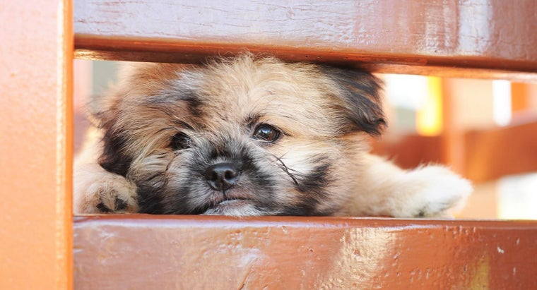 What Is a Shih Tzu-Pomeranian Mix?