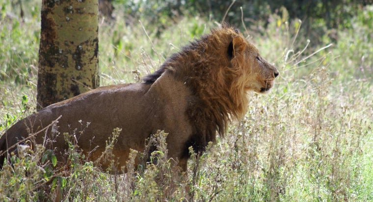 What Do African Lions Eat?