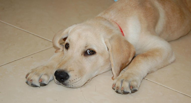 What Are the Personality Characteristics of Labrador Puppies?