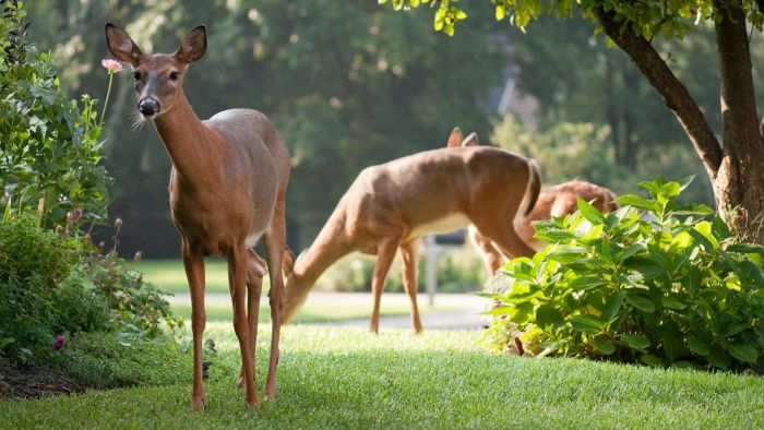 What Are Some Shrubs That Deer Don't Eat?