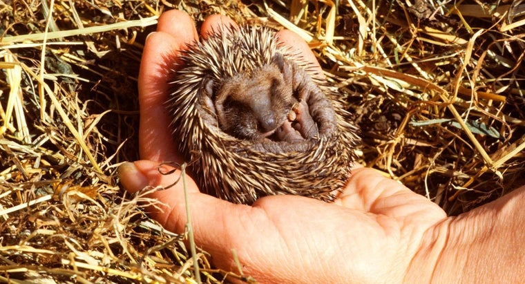 Where Can You Adopt Baby Hedgehogs?