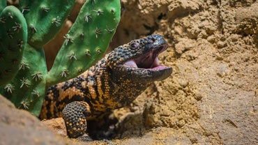 What Are Some Kid-Friendly Facts About the Gila Monster?