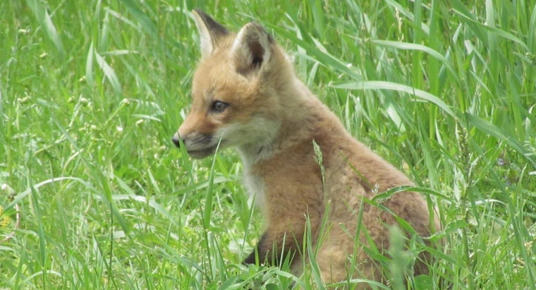 What Do Red Foxes Eat?