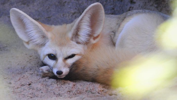 Where Can You Find Fennec Foxes for Adoption?