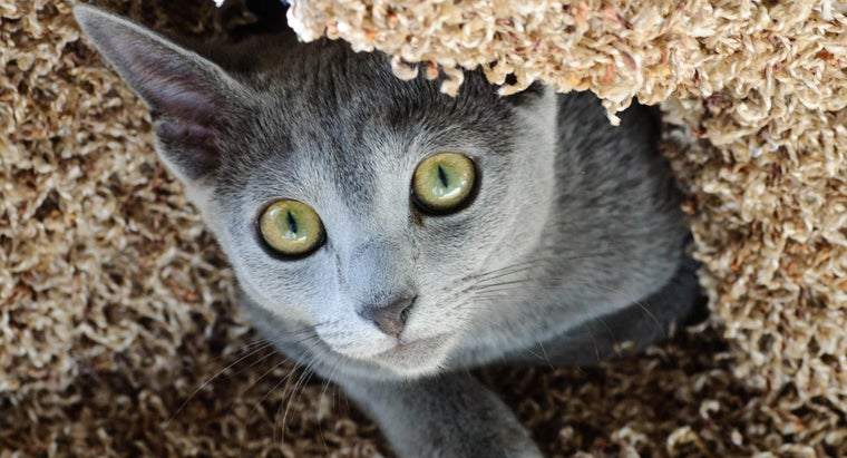 Where Can You Find Rescued Russian Blue Cats?