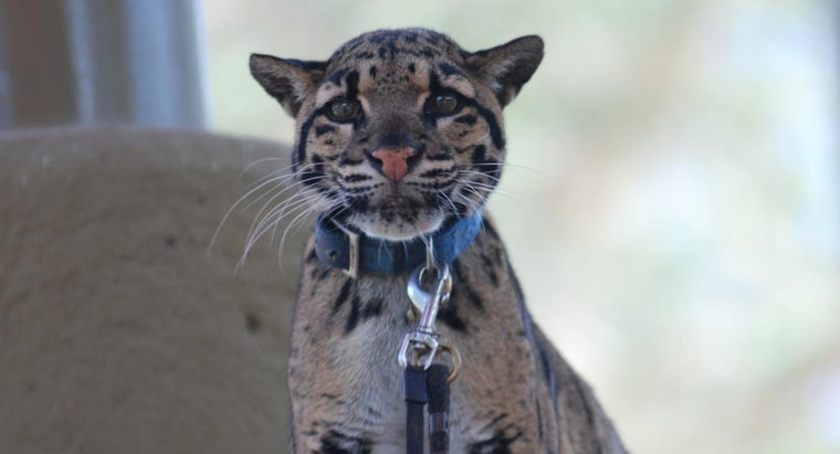 What Are Some Clouded Leopard Facts?