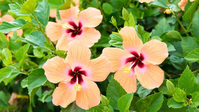 How Do You Care for a Hibiscus Plant?