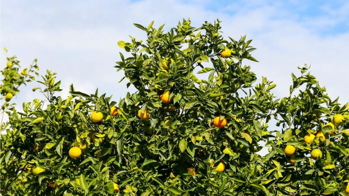 What Are Some Types of Citrus Fruit Tree Diseases?