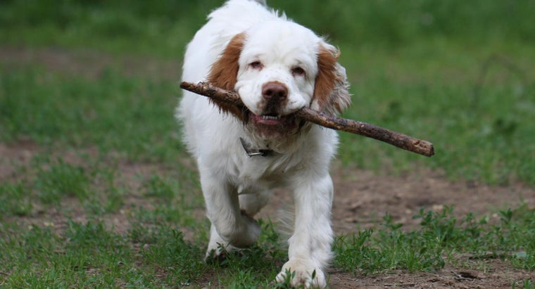 What Is a Clumber Spaniel Breed?