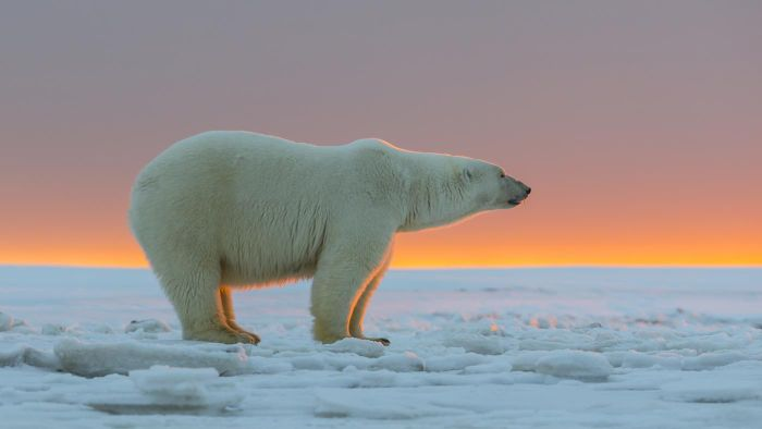 What are some basic facts about polar bears?