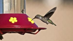 Will Hummingbirds Eat Seeds in a Feeder?