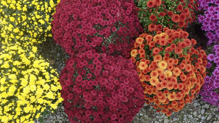 Where Can You Buy Chrysanthemums?