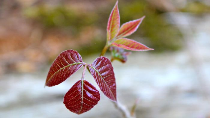 What Are Some Good Natural Treatments for Poison Ivy?