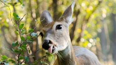 What Should You Feed Whitetail Deer?