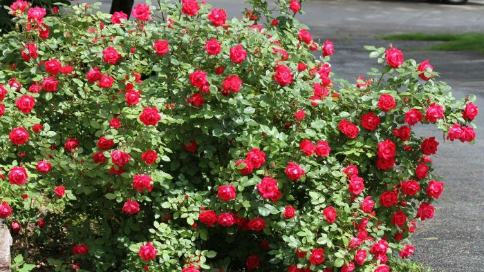 What Are Some Tips for Pruning Knock Out Roses?