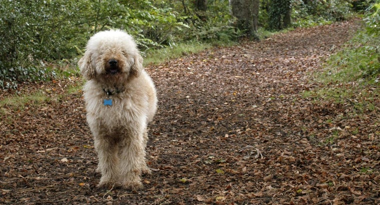 Where Can You Buy a Labradoodle Puppy From a Champion Line?