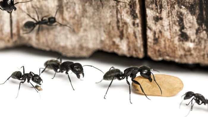 What Are Some Common Ways to Kill Carpenter Ants?