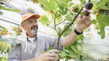 When Can You Prune Fig Trees in South Carolina?