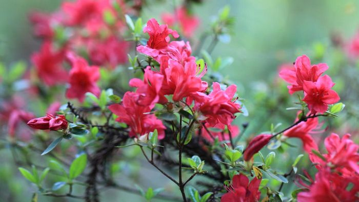 When Is the Best Time to Plant Azaleas?