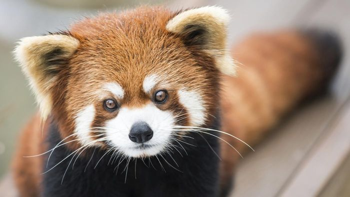 What Are Some Facts About Red Pandas?