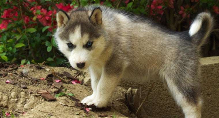 How Can You Find a Siberian Husky for Free Adoption?