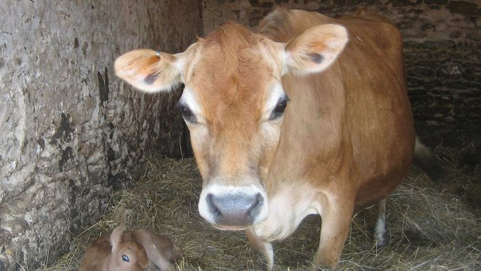 What Is a Jersey Cow?