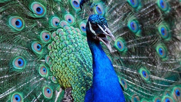 What Are Some Interesting Facts About Peacocks?