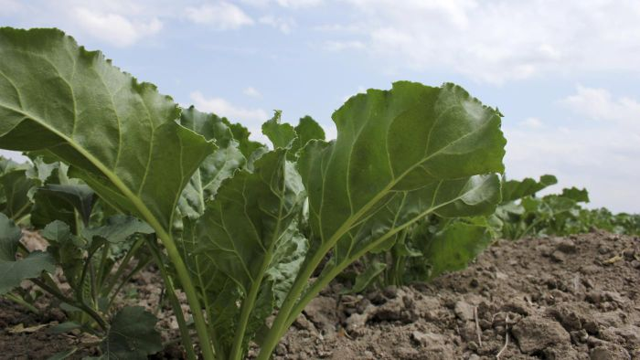 Can You Eat Sugar Beets?