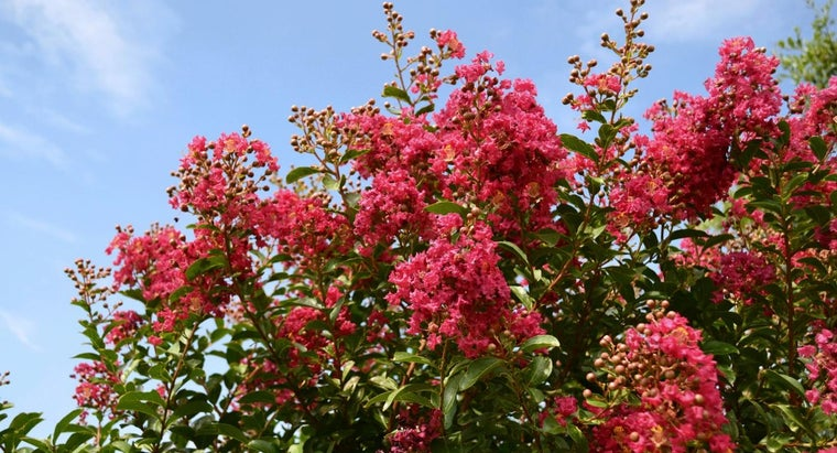 When Do I Trim Crepe Myrtles?