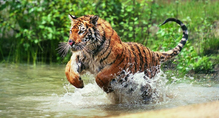 What Are Some Basic Facts About Tigers?
