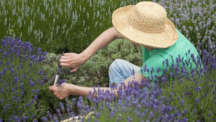 How Do You Prune Lavender?