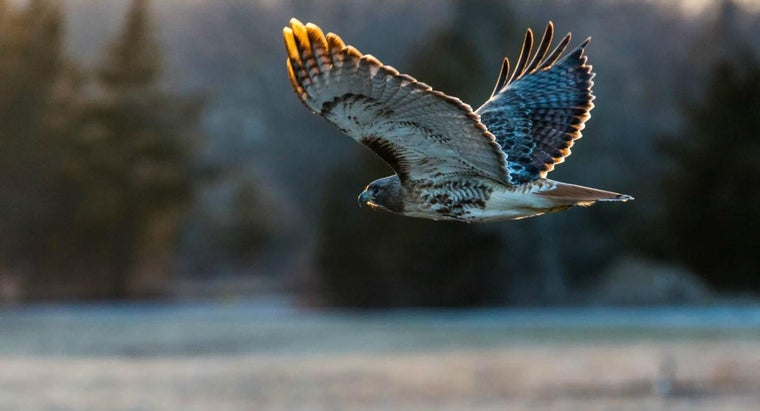 What Types of Hawks Live in North America?