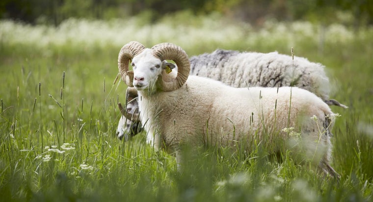 What Are Some Tips for Buying Rams As Livestock?