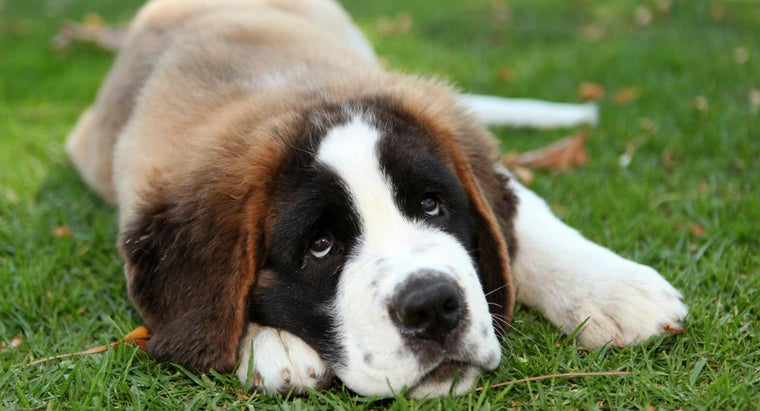 What Are Good Things to Know Before Rescuing Saint Bernard Puppies?