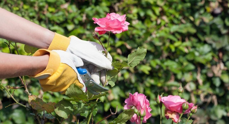 What Is the Ideal Time to Prune Roses?