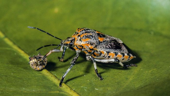 What are stink bugs?